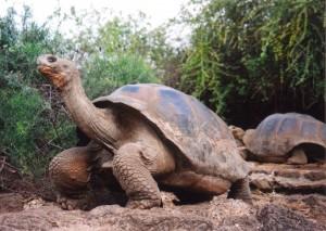 Galápagos Inseln Schildkröten