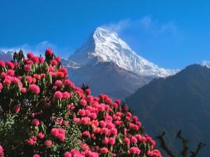 Rhododendron-Blüte im dauerhaft nepalesischen Frühling