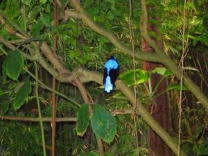 Costa Rica blauer Vogel im Dschungel