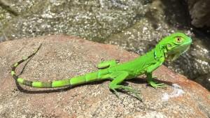 Costa Rica Eidechse